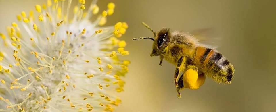 Пчела: строение пищеварительных органов