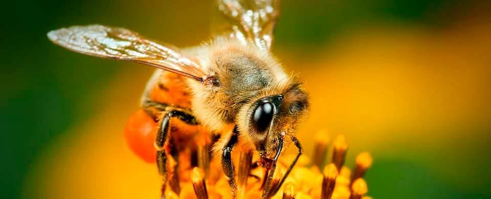 Сколько крыльев у пчелы?