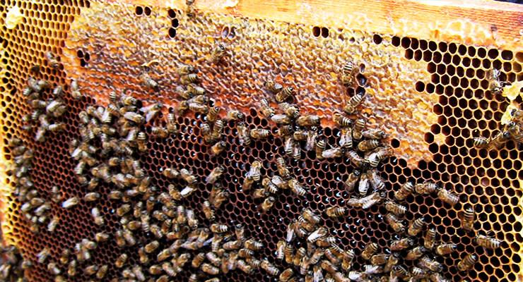 Как избежать нозематоза у пчел