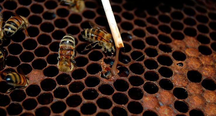 Нозематоз пчел: признаки заболевания