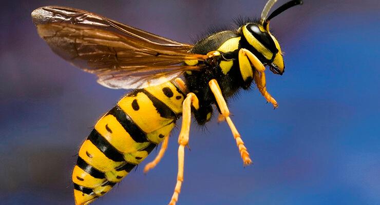 Атакуют осы что делать