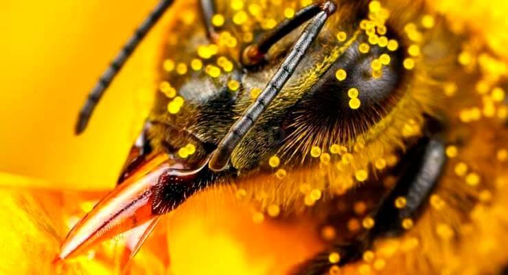 Виды пчел медоносная пчела и ее родственники