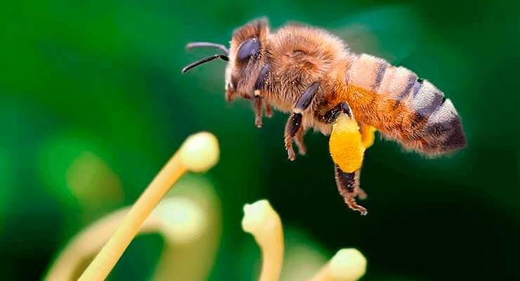 Виды медоносных пчёл