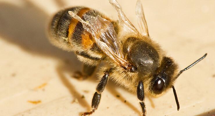 Обработка пчел Бипином как профилактика Варроатоза. Особенности осенней обработки и инструкция