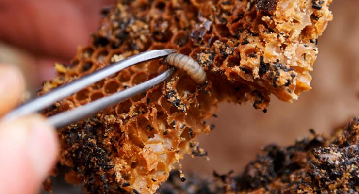 Личинки восковой моли огневки