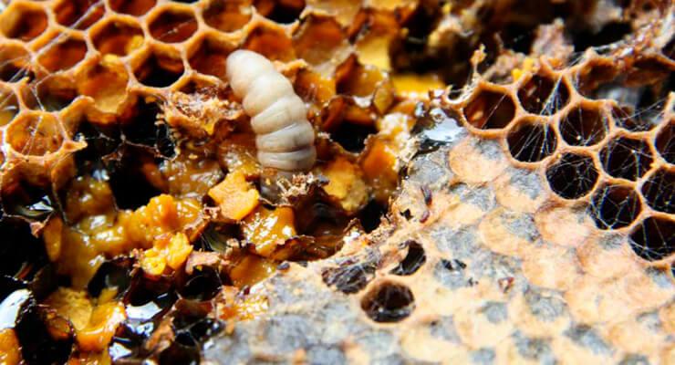 Пчелиная моль