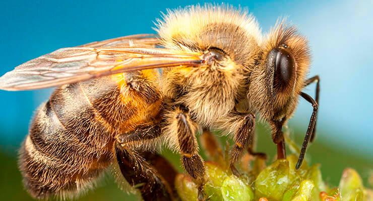 Что делать когда укусила пчела в ногу