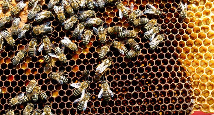 Как выводить пчелиных маток