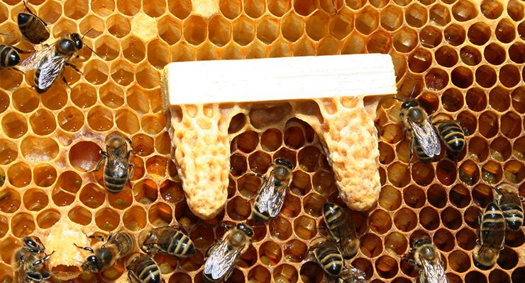 Вывод пчеломаток: отличие роевых и свищевых