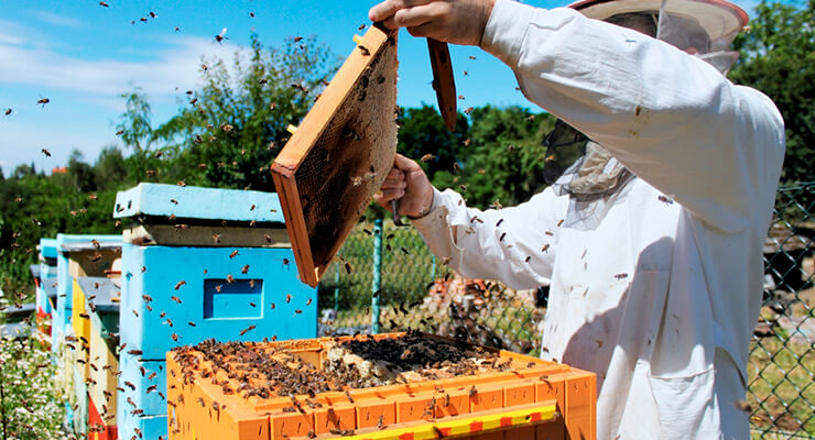 Вывод маток пчел: искусственные способы