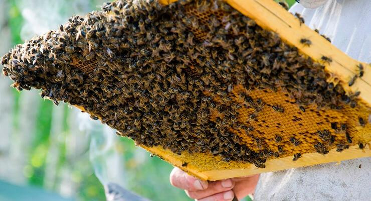 Ошибки пчеловодов при выводе маток