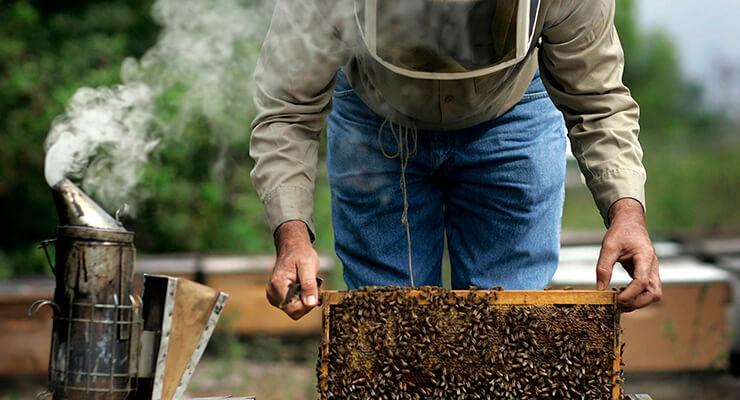 Вывод пчелиных маток: условия