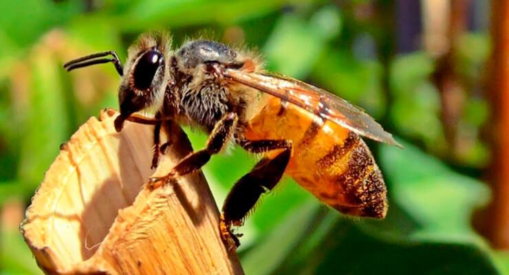 лечение подагры укусами пчел