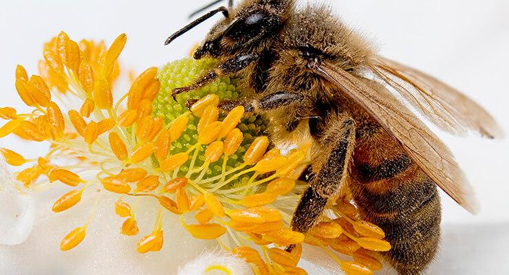 Пчелиный яд: польза и вред