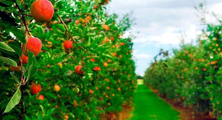 Классификация сортов яблонь
