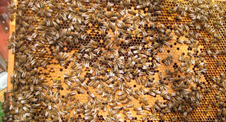 Пчела карника: происхождение
