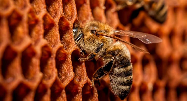 Краинская пчела: виды