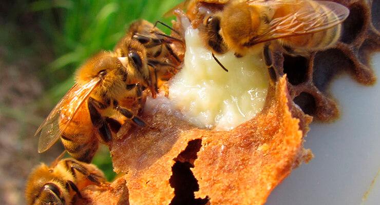 Пчелиное молочко: состав