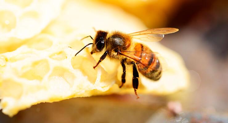 Заводская порода пчел пчелы Бакфаст