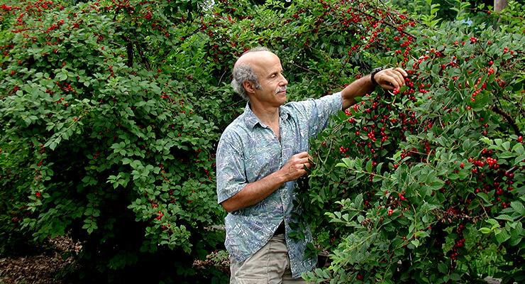 Посадка и уход войлочной вишни