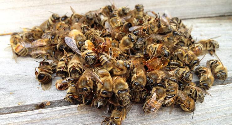 Как называется пчелиный помет