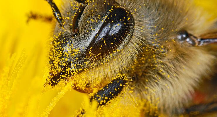 Пчелиная пыльца: внешний вид и химический состав